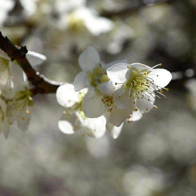 縮景園の梅が満開_f0099102_11465079.jpg