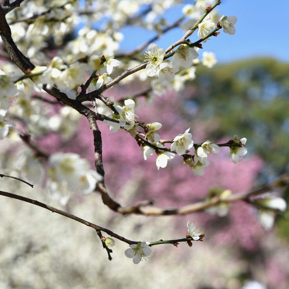 縮景園の梅が満開_f0099102_11465416.jpg