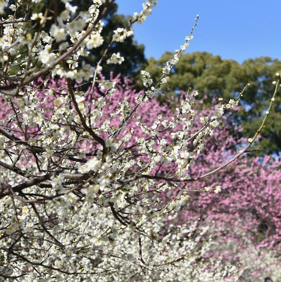 縮景園の梅が満開_f0099102_11465932.jpg