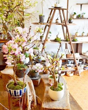 桜盆栽展 vol.6 はじまりますー_d0263815_13363052.jpg