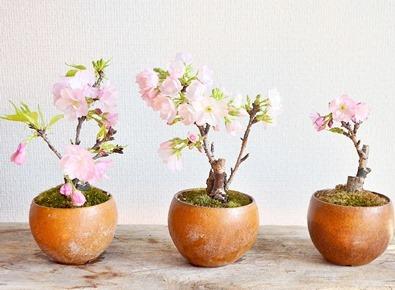 桜盆栽展 vol.6 はじまりますー_d0263815_13393082.jpg