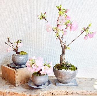 桜盆栽展 vol.6 はじまりますー_d0263815_13394635.jpg