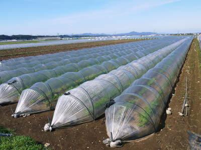 有機栽培の水田ごぼう 元気に成長中!今年はあまりの寒さに少し遅れ、5月中旬より出荷予定!!_a0254656_16141748.jpg