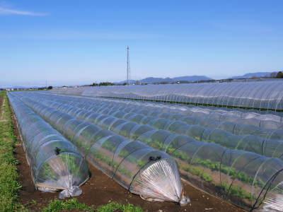 有機栽培の水田ごぼう 元気に成長中!今年はあまりの寒さに少し遅れ、5月中旬より出荷予定!!_a0254656_16155294.jpg