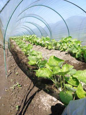 有機栽培の水田ごぼう 元気に成長中!今年はあまりの寒さに少し遅れ、5月中旬より出荷予定!!_a0254656_16180164.jpg
