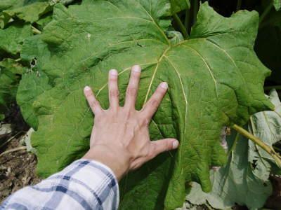 有機栽培の水田ごぼう 元気に成長中!今年はあまりの寒さに少し遅れ、5月中旬より出荷予定!!_a0254656_17015881.jpg