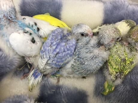 180309 文鳥・インコ・ハムスター_f0189122_15202038.jpg