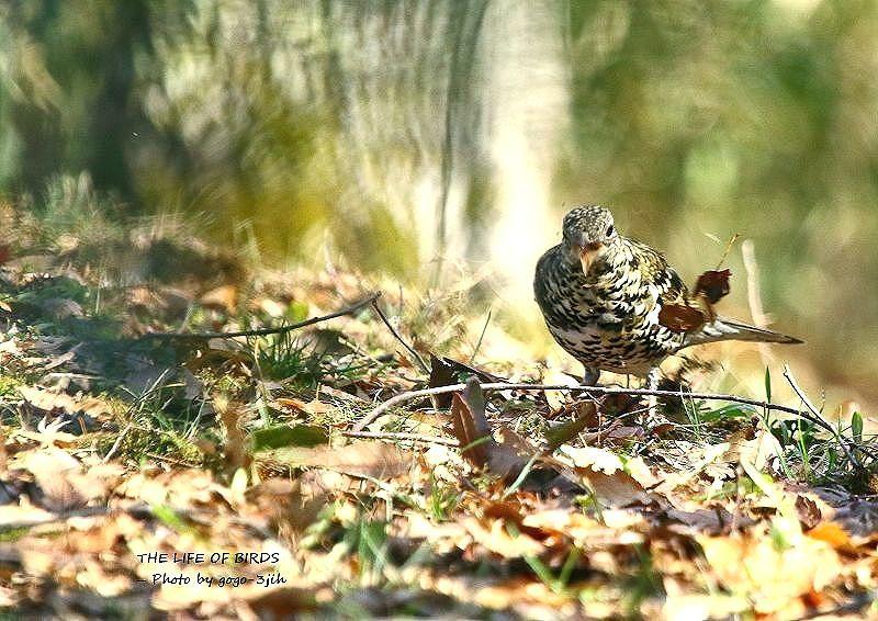トラツグミは、全国的に繁殖し、北の地方のものは冬に暖地へ移動_b0346933_05465818.jpg