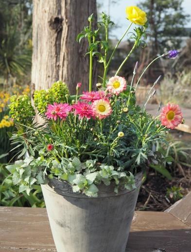 プレゼントは「春の寄せ植え」_f0139333_20014760.jpg