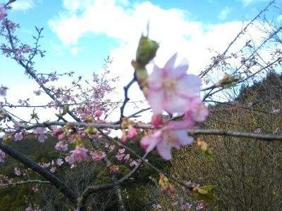 仕事の後に散歩・河津桜も開花_c0330749_20440546.jpg