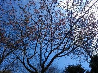 仕事の後に散歩・河津桜も開花_c0330749_20440695.jpg