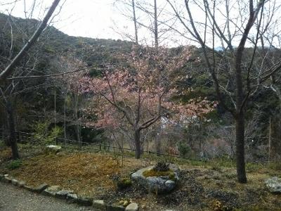 仕事の後に散歩・河津桜も開花_c0330749_20440860.jpg