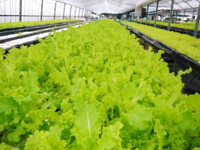 美味しいサラダ食べてますか?農薬を一切使用しない「水耕栽培の生野菜」大好評発売中!_a0254656_17102884.jpg