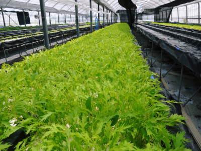 美味しいサラダ食べてますか?農薬を一切使用しない「水耕栽培の生野菜」大好評発売中!_a0254656_17222213.jpg