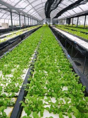 美味しいサラダ食べてますか?農薬を一切使用しない「水耕栽培の生野菜」大好評発売中!_a0254656_17302024.jpg