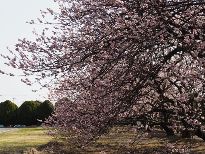 椿寒桜とショパン_e0350905_12471190.jpg