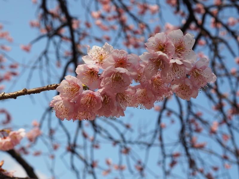 椿寒桜とショパン_e0350905_12500334.jpg