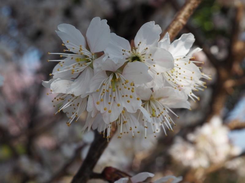 椿寒桜とショパン_e0350905_18420464.jpg