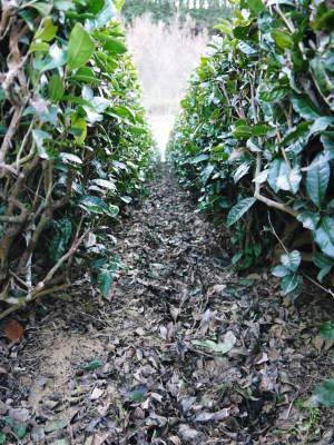 菊池水源茶 有機栽培のお茶に肥料を散布!厳しい基準がありました!_a0254656_18202359.jpg