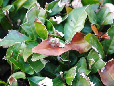 菊池水源茶 有機栽培のお茶に肥料を散布!厳しい基準がありました!_a0254656_18310584.jpg