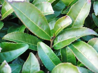 菊池水源茶 有機栽培のお茶に肥料を散布!厳しい基準がありました!_a0254656_18434802.jpg