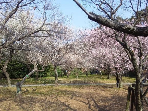 大宮第二公園の梅林_d0116059_20510253.jpg