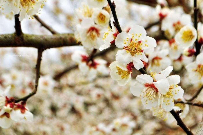 福岡/谷川梅林/3万本の梅の丘_f0234062_21494050.jpg