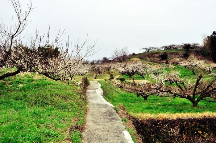 福岡/谷川梅林/3万本の梅の丘_f0234062_21495532.jpg