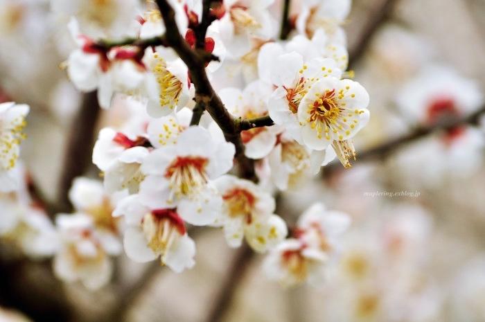福岡/谷川梅林/3万本の梅の丘_f0234062_21520545.jpg