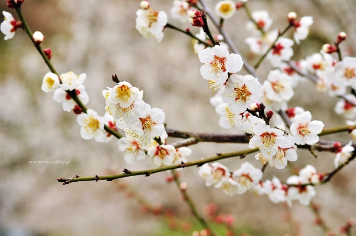 福岡/谷川梅林/3万本の梅の丘_f0234062_21522104.jpg