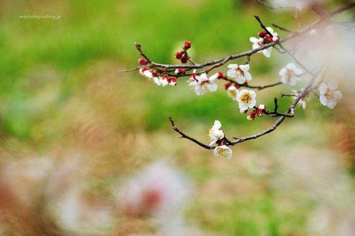 福岡/谷川梅林/3万本の梅の丘_f0234062_21523037.jpg