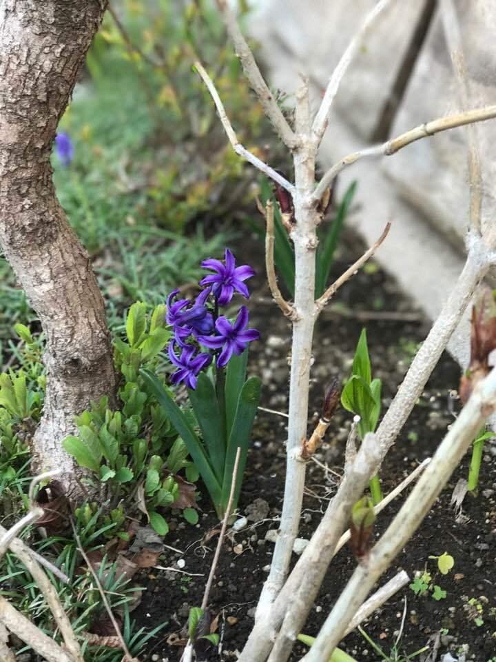 自宅の庭で、何年も咲いてくれる、ヒアシンス・・_b0137969_07452024.jpg