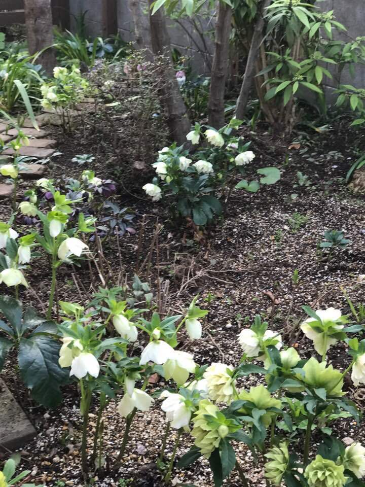 自宅の庭で、何年も咲いてくれる、ヒアシンス・・_b0137969_07501372.jpg