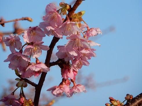 河津桜が、ようやく咲きました_e0175370_20354388.jpg