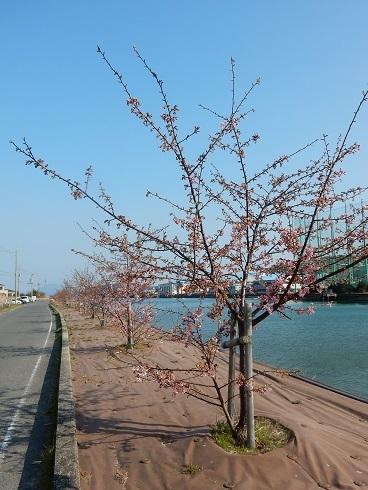 河津桜が、ようやく咲きました_e0175370_20360307.jpg
