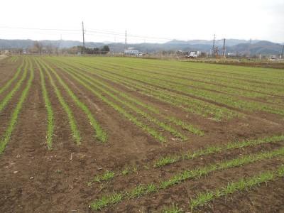 小麦も少し大きくなってきました_c0332682_21000979.jpg