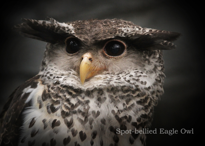 ネパールワシミミズク:Spot-bellied Eagle Owl_b0249597_09151649.jpg