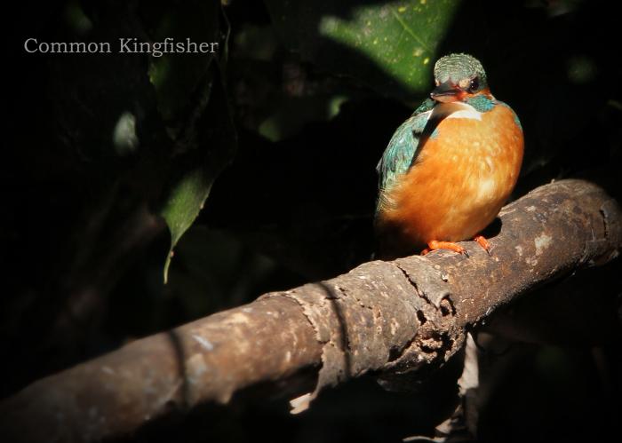 カワセミ:Common kingfisher_b0249597_06312285.jpg