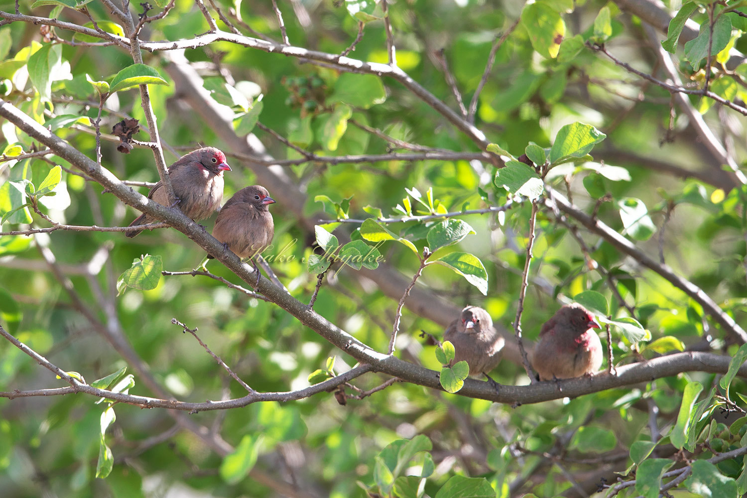 コウギョクチョウ  Red-billed Firefinch_d0013455_19081467.jpg