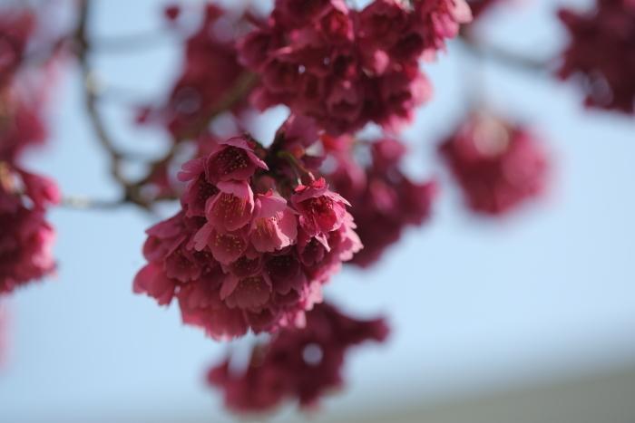 寒緋桜_b0188569_16022283.jpg