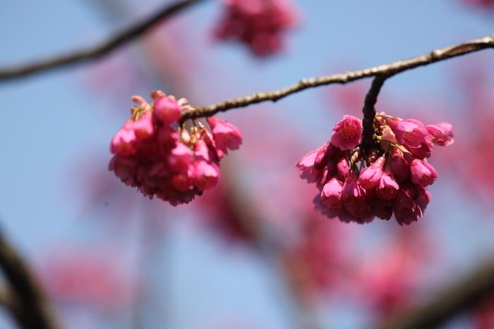 寒緋桜_b0188569_16022832.jpg