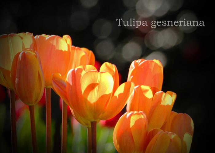 チューリップ:tulip _b0249597_07042896.jpg