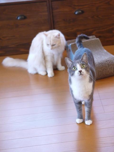 猫のお留守番 天ちゃん麦くん茶くん編。_a0143140_21354952.jpg