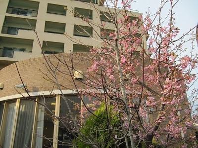 早咲き さくら_e0163042_17005863.jpg