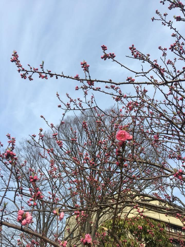 春~!はる!…桜も…開花寸前‼️in西公園、大濠公園_d0082356_10595654.jpg