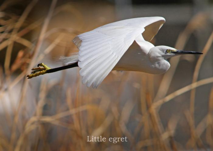 コサギ:Little egret _b0249597_07150099.jpg