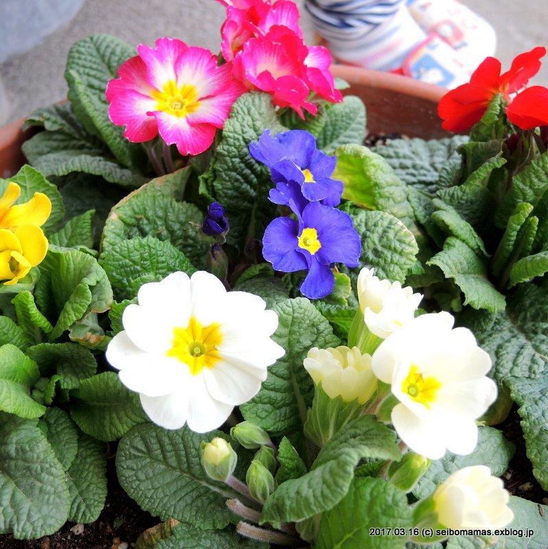 ようやく花のついたプリムラ