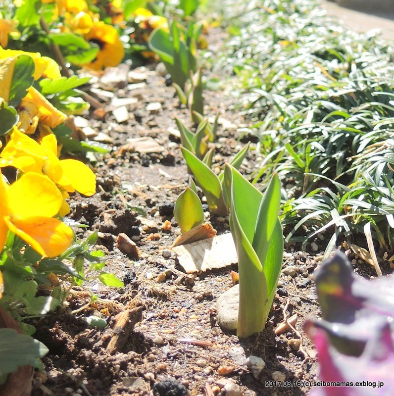 チューリップも芽を出し