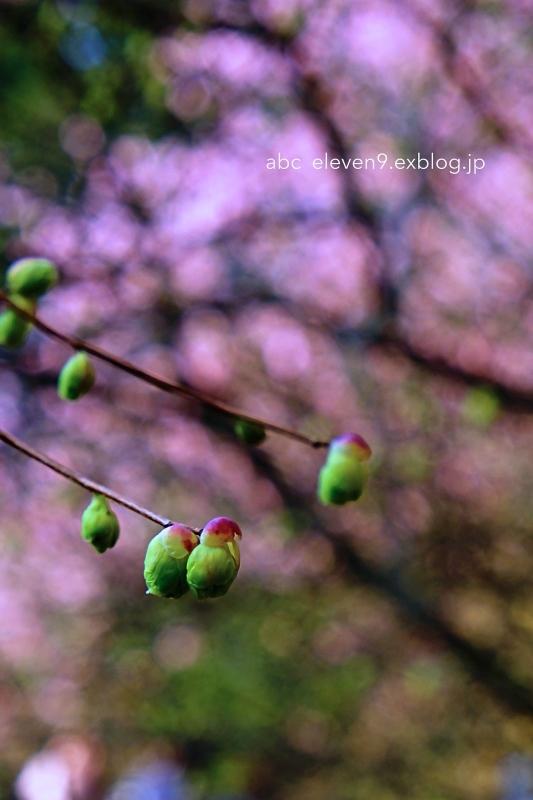 初御代桜(ハツミヨザクラ)_f0315034_14394968.jpg