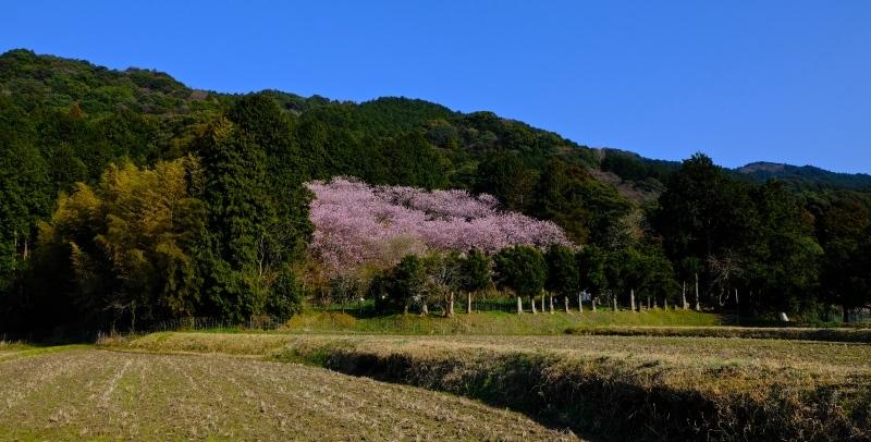 初御代桜(ハツミヨザクラ)_f0315034_14402006.jpg